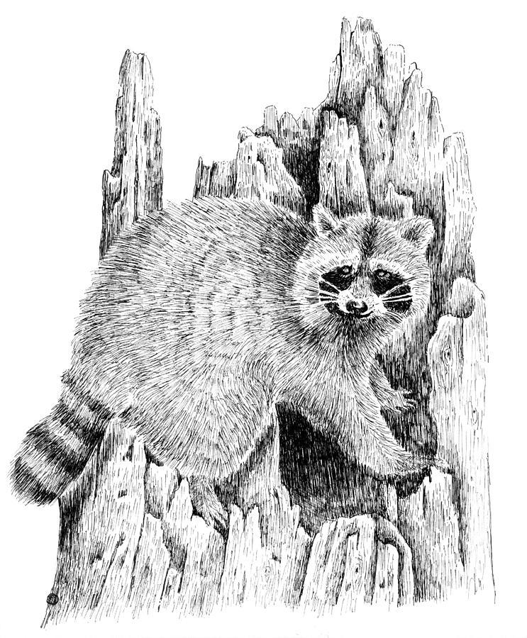 Raccoon Mischief Drawing by Kyle Peron Raccoon Drawing