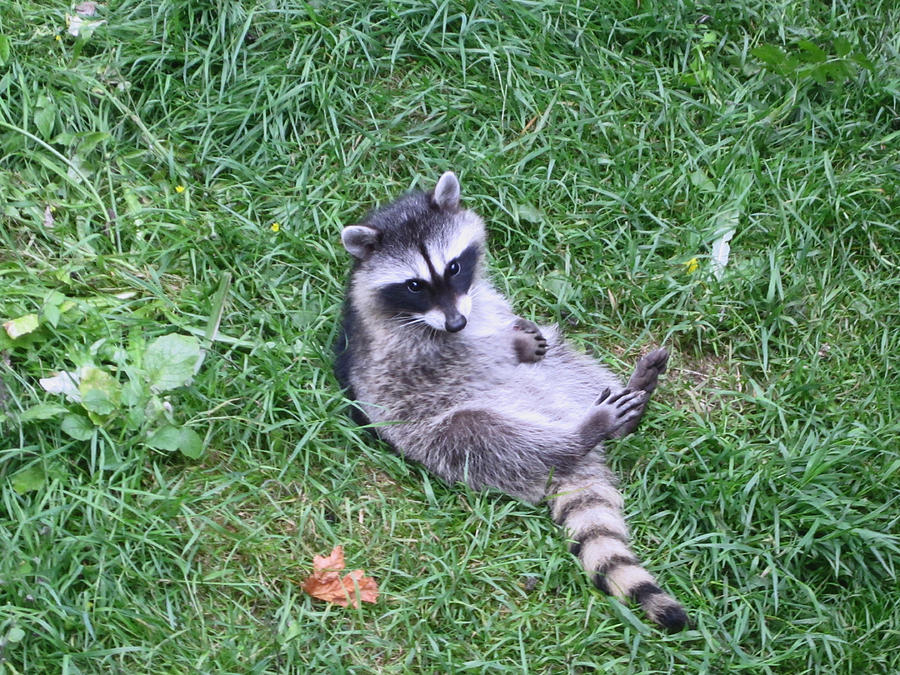 Raccoon Plays In The Grass Photograph