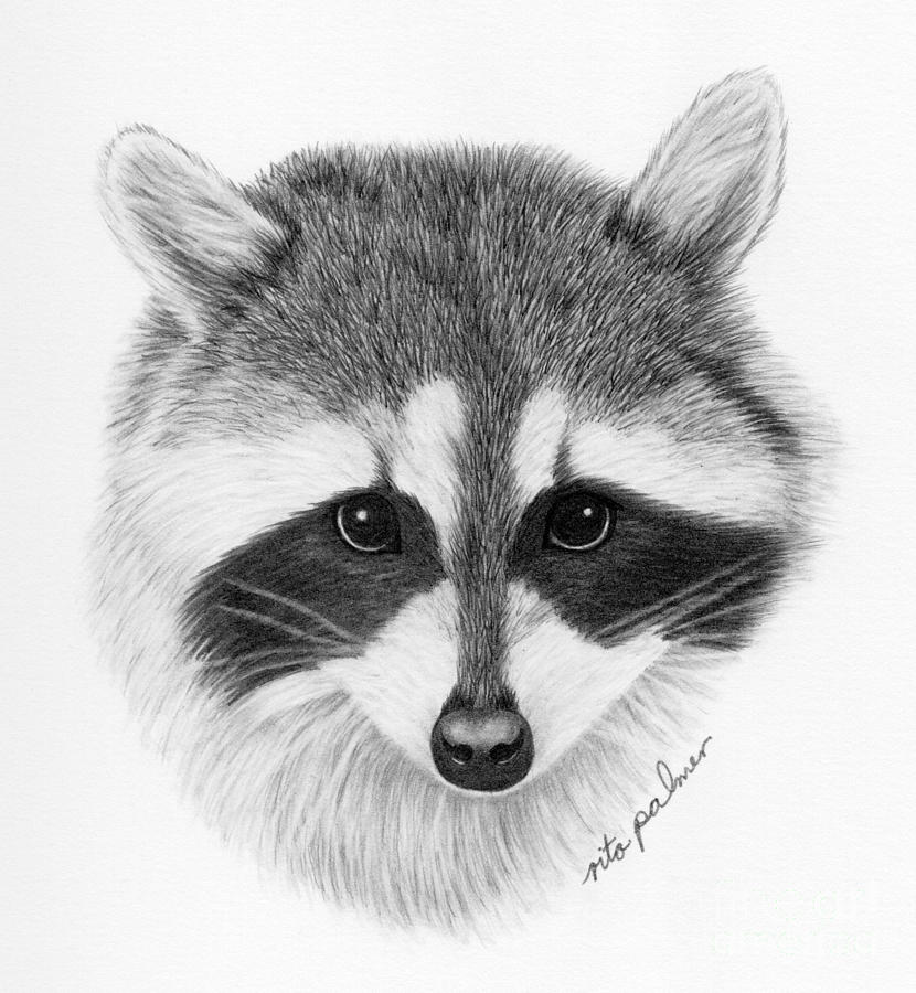 The gallery for --> Dove Drawings In Pencil Raccoon Drawing Easy