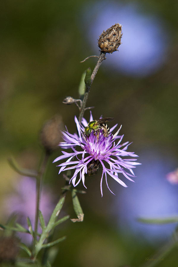 Ragged Robin Photograph