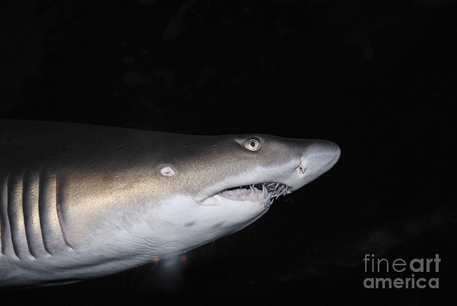 Ragged-toothed Shark In Aquarium Photograph  - Ragged-toothed Shark In Aquarium Fine Art Print