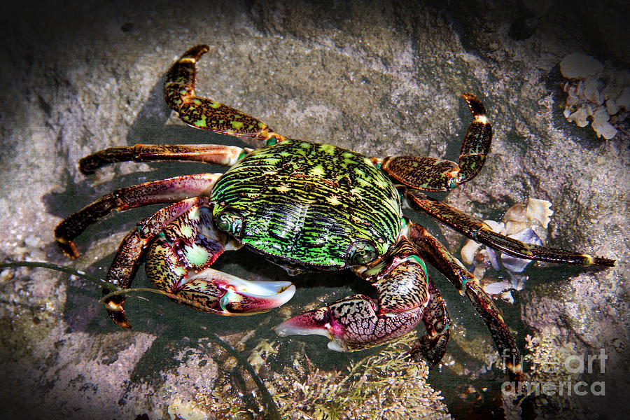 Rainbow Crab Photograph - Rainbow Crab by Mariola Bitner