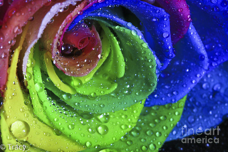 Rainbow Flower Rose Photograph