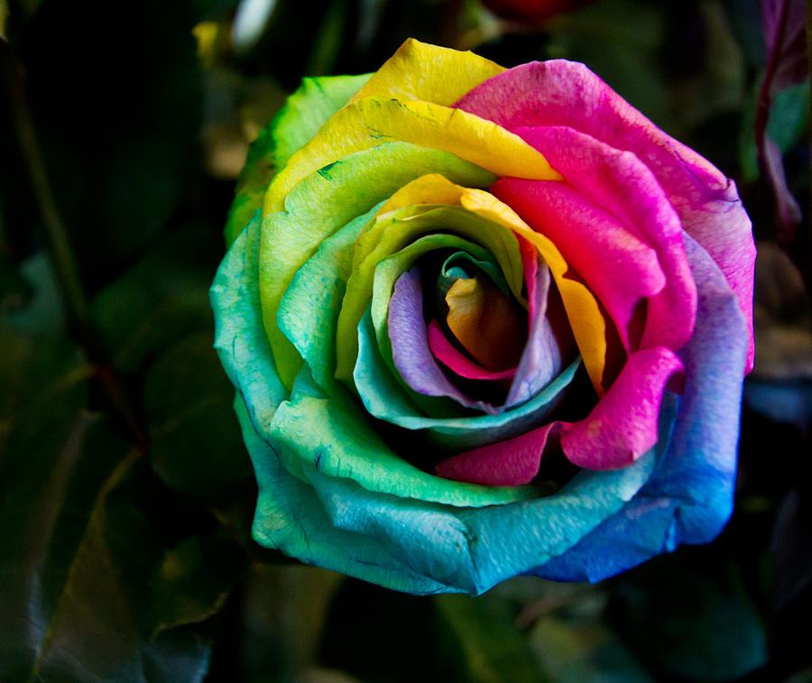 Share for What are rainbow roses