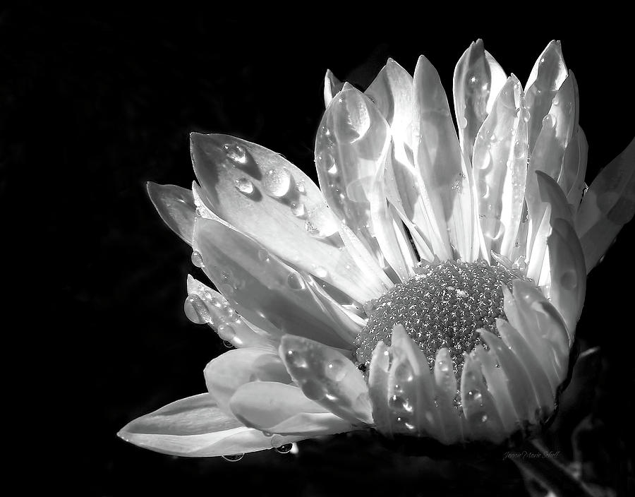 Raindrops On Daisy Black And White Photograph  - Raindrops On Daisy Black And White Fine Art Print