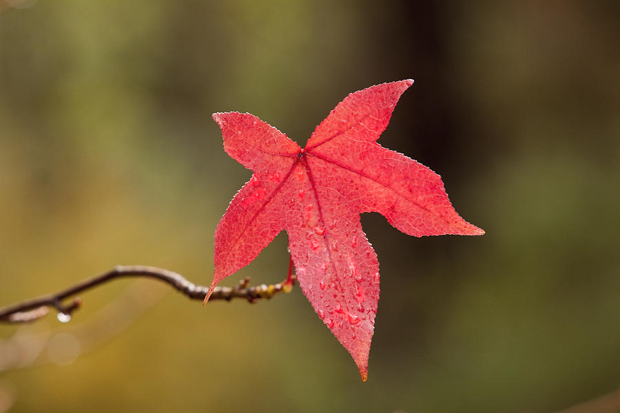 Raindrops On Red Fall Leaf Photograph