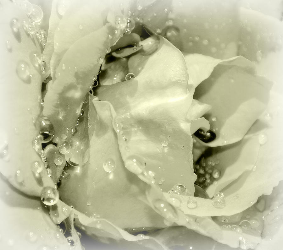 Raindrops On White Rose Photograph