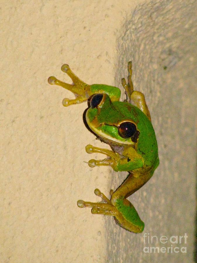 Rainforest Tree Frog Photograph