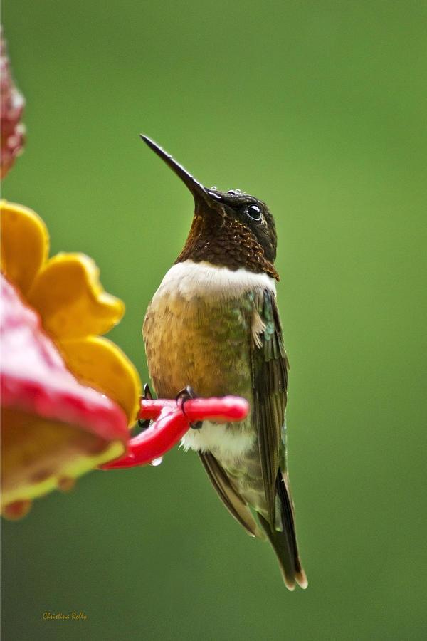 Rainy Day Hummingbird Photograph