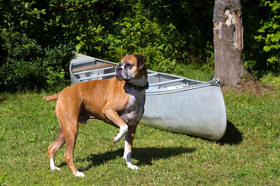 Boxer Photograph - Ranger The Boxer by Stephanie McDowell