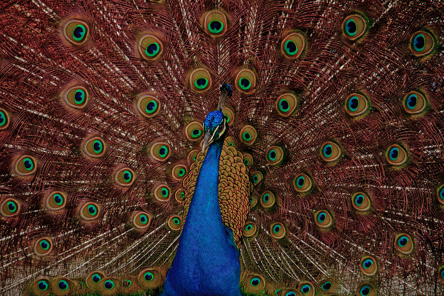 Rare Pink Tail Peacock Photograph  - Rare Pink Tail Peacock Fine Art Print