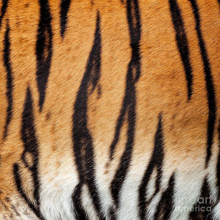 Real Tiger Fur Pattern Photograph by Sarah Cheriton-Jones - photo#15