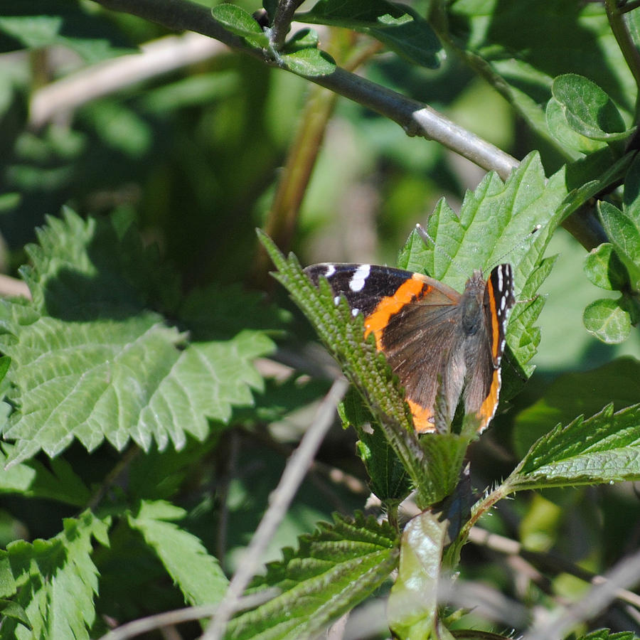 Butterflies Photograph - Red Admiral Butterfly In Nature by Melissa ...