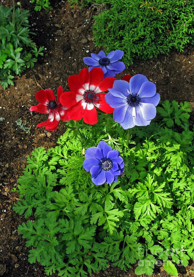 Red And Blue Anemones Photograph