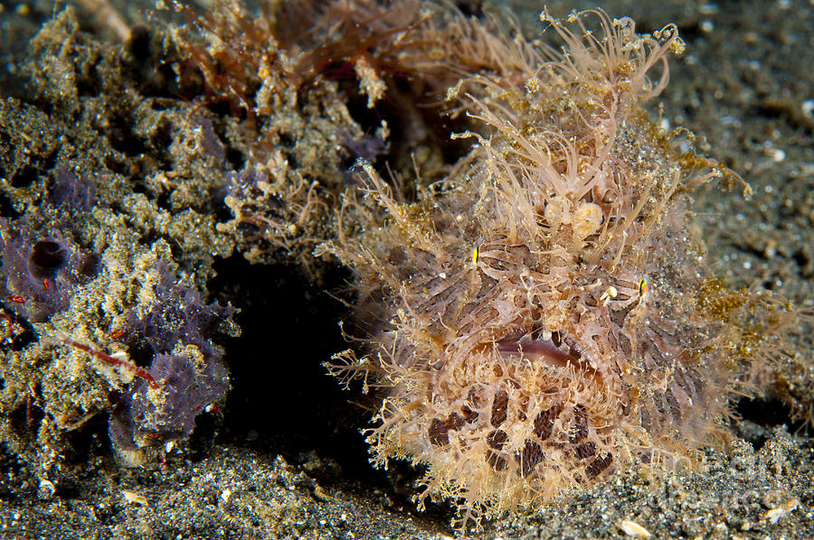 Red And Pink Striated Frogfish Photograph