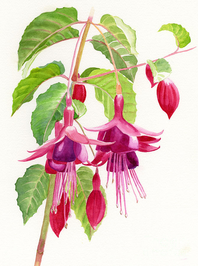 Red And Purple Fuchsias Painting  - Red And Purple Fuchsias Fine Art Print