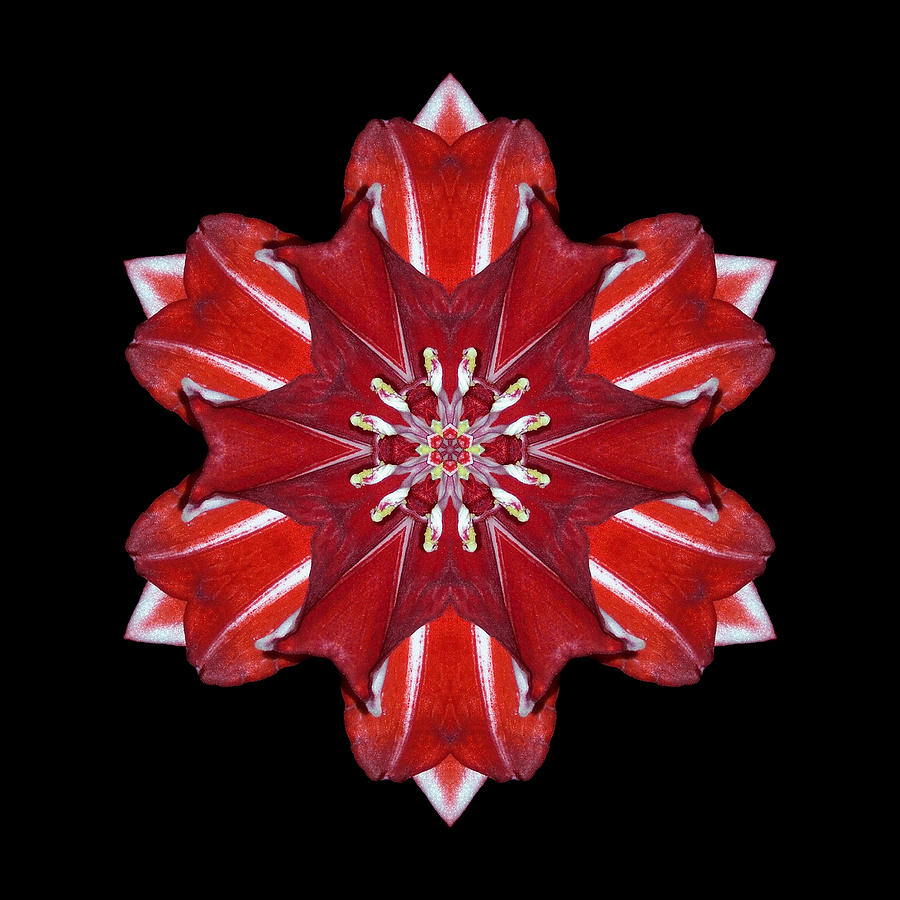 Red And White Amaryllis Vii Flower Mandala Photograph