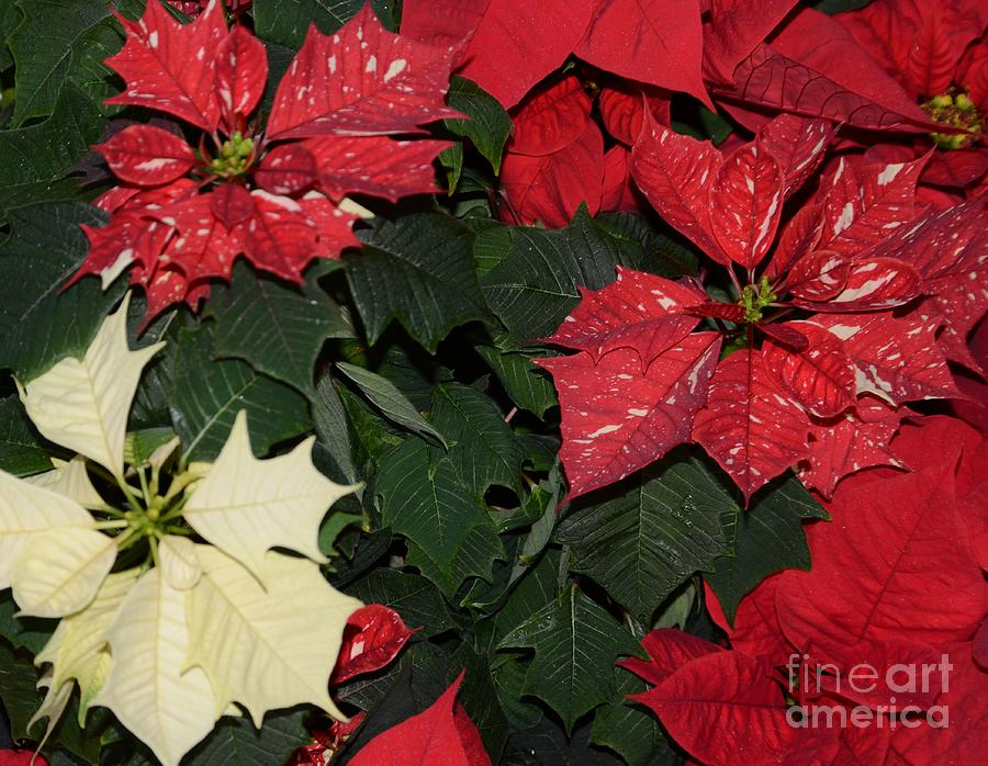 Red And White Poinsettia Photograph  - Red And White Poinsettia Fine Art Print
