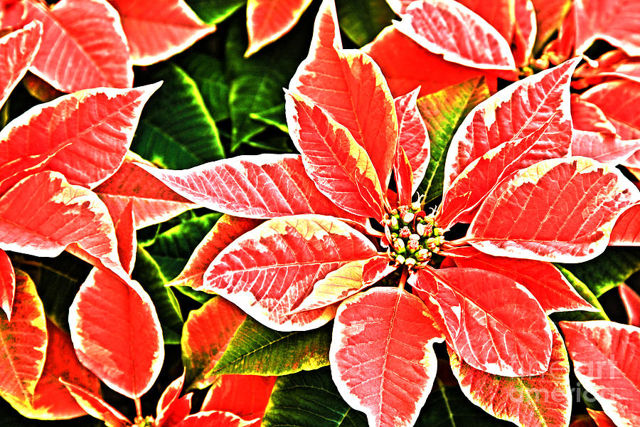 Red And White Poinsettias Photograph