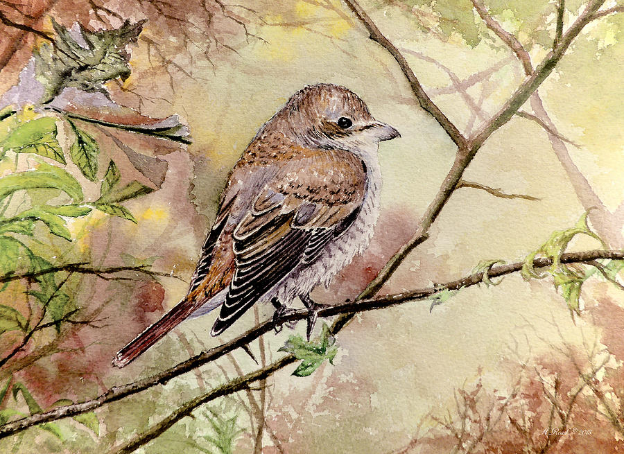 Red Backed Shrike Painting