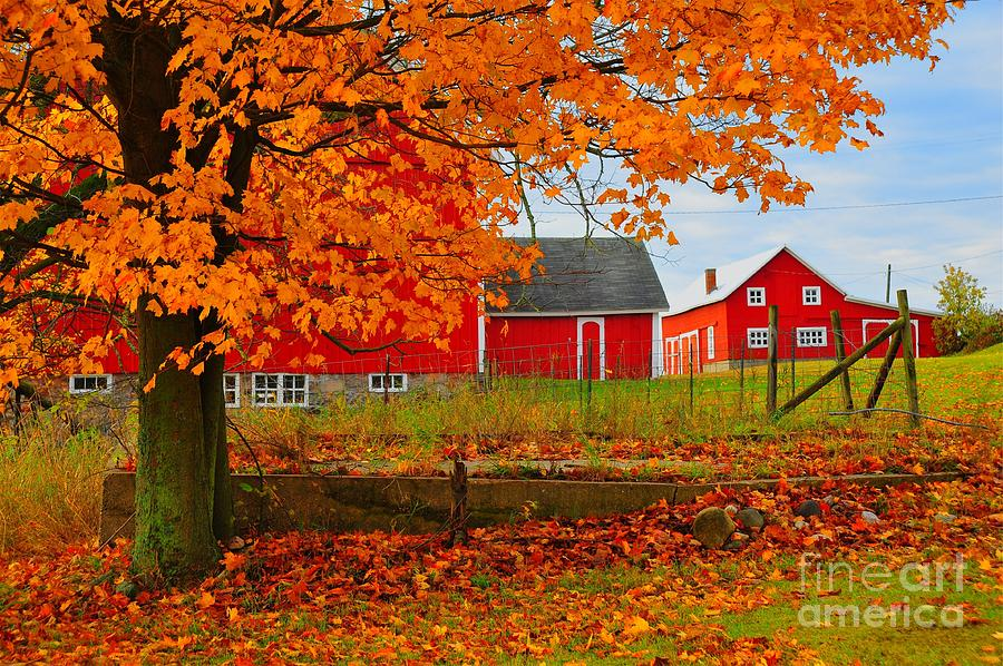 Red Barns In Autumn Photograph