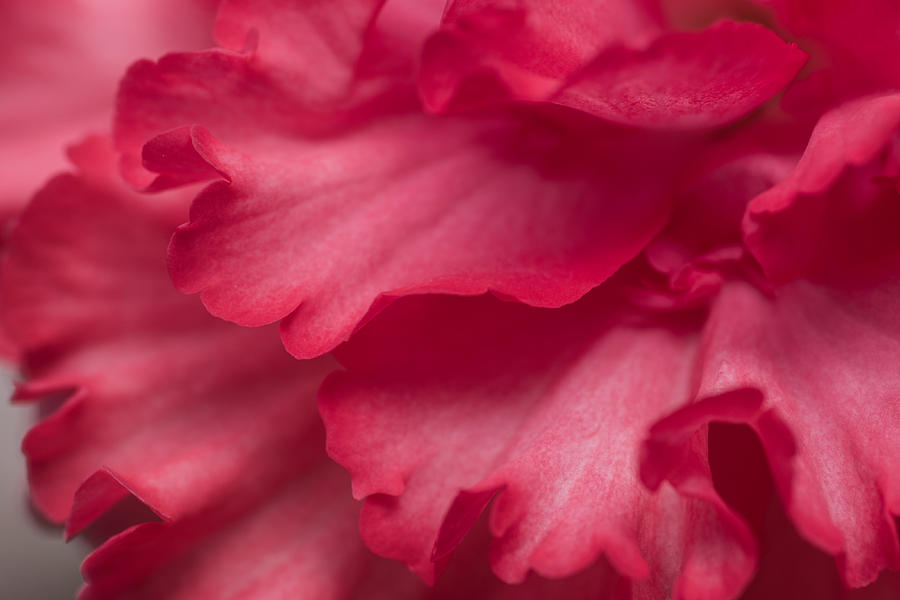 Red Begonia Petals Photograph  - Red Begonia Petals Fine Art Print