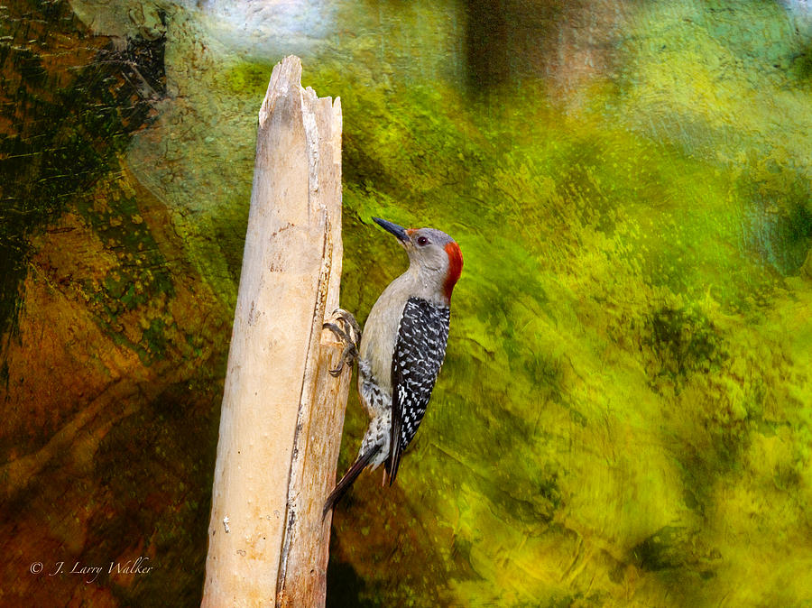 Red-bellied Woodpecker Happily Pecks Digital Art  - Red-bellied Woodpecker Happily Pecks Fine Art Print