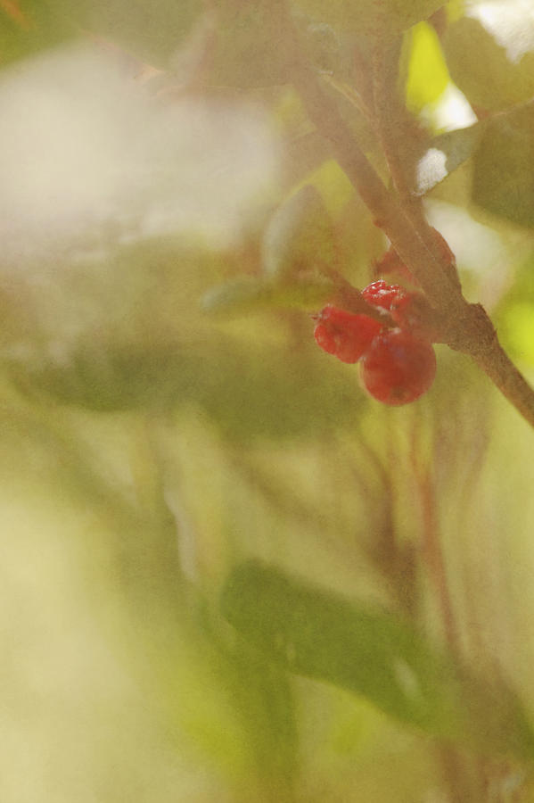 Red Berries Of The Bog Cranberry Photograph