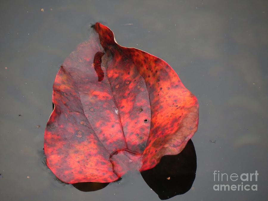 Red Briar Leaf On Water Photograph