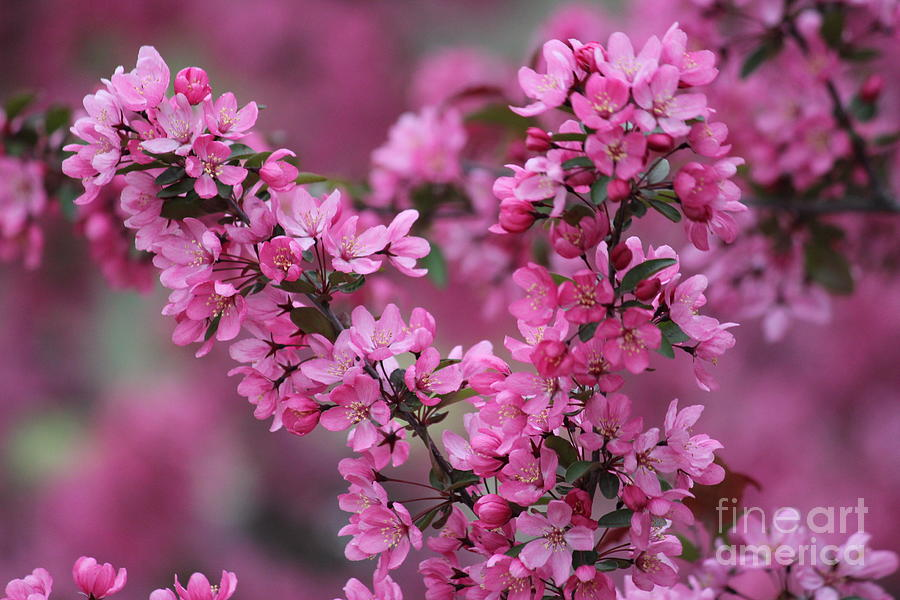 Red Bud Blossoms Photograph