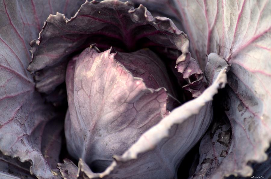Red Cabbage Photograph