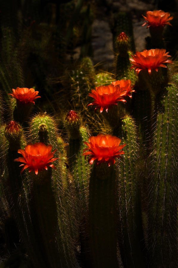 Red Cactus Flowers II  Photograph  - Red Cactus Flowers II  Fine Art Print