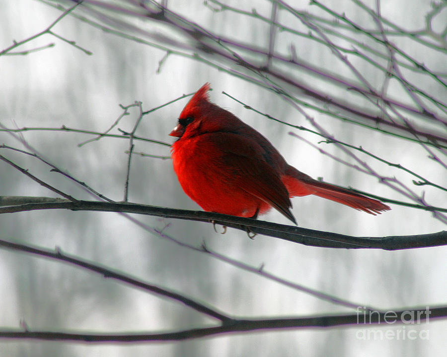 Red Cardinal On Winter Branch  Photograph  - Red Cardinal On Winter Branch  Fine Art Print