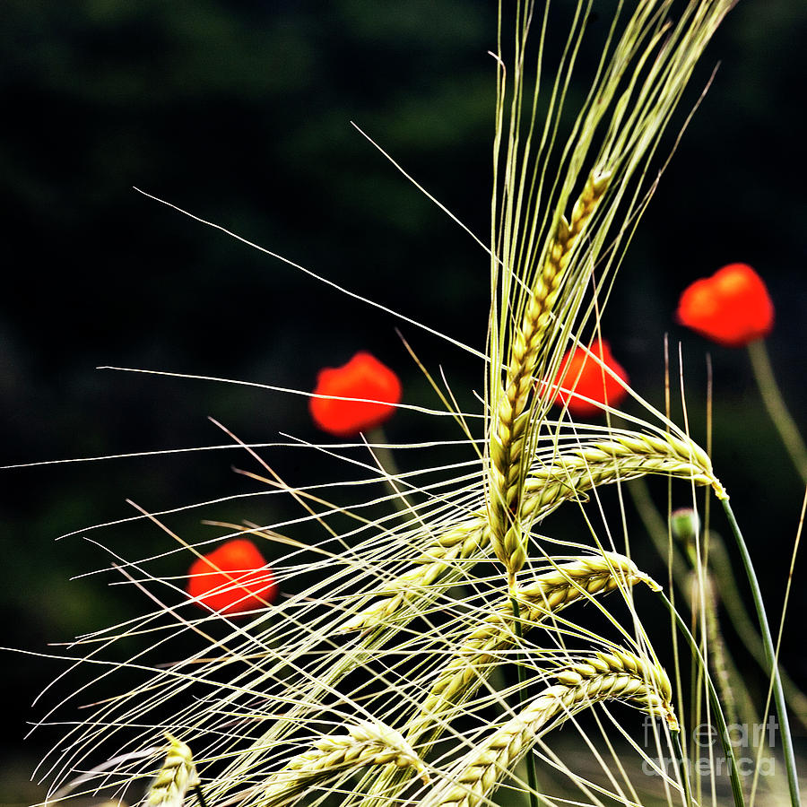 Red Corn Poppies Photograph  - Red Corn Poppies Fine Art Print