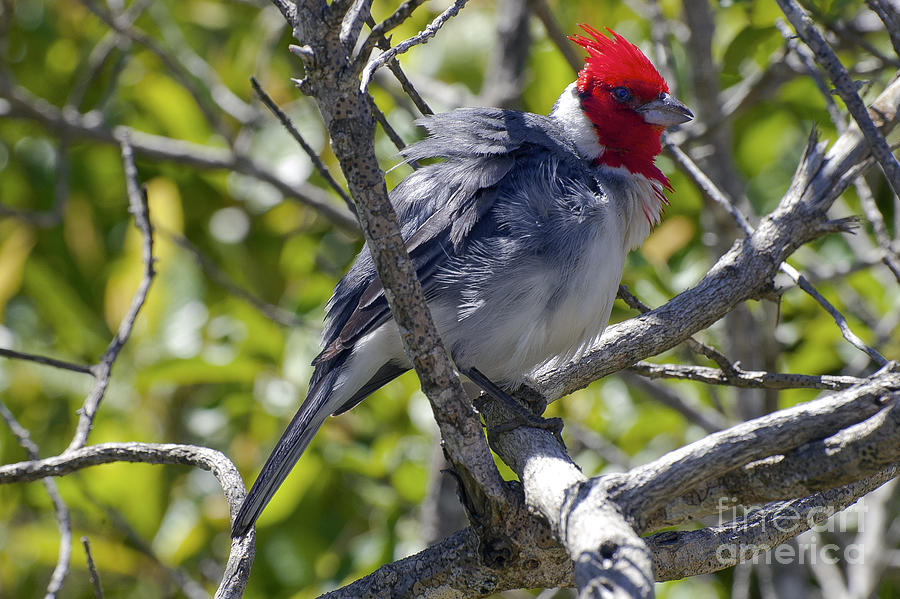 Red Crested Cardinal Photograph  - Red Crested Cardinal Fine Art Print