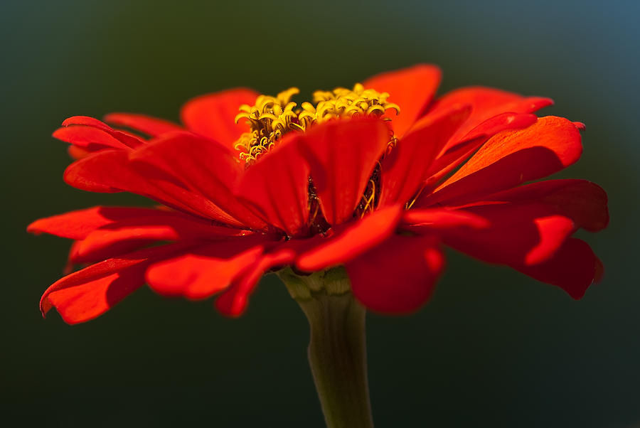 Red Dahlia-a Bees Eye View Photograph