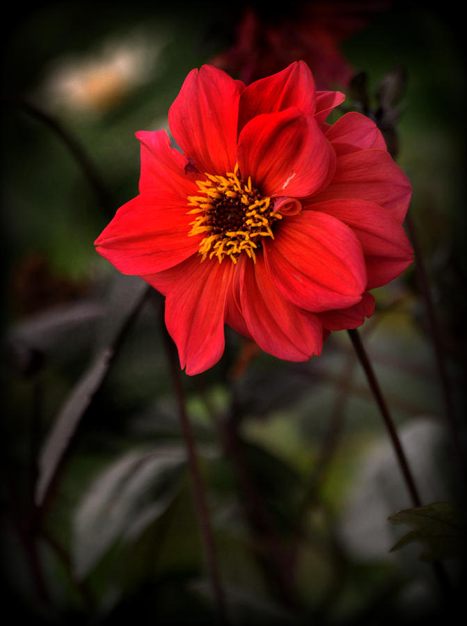 Red Dahlia Black Foliage is a photograph by Nathan Abbott which was ...