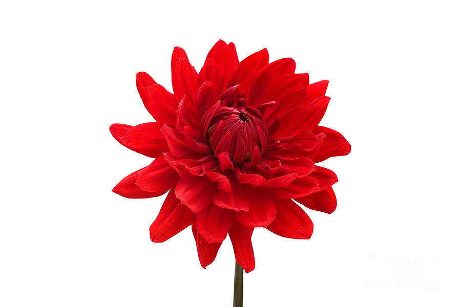 red flower white background -#main