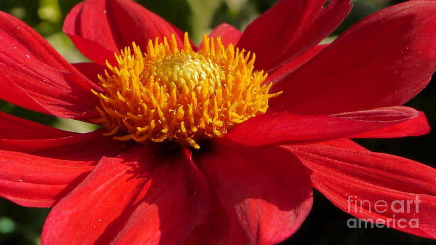 Red Dahlia Starlet Photograph