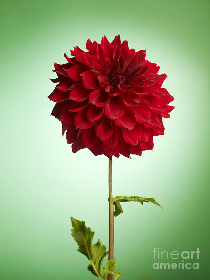 Dahlia Photograph - Red Dahlia by Tony Cordoza