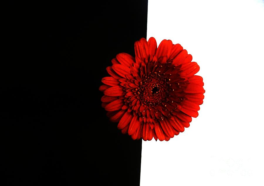 Black and white and red art red daisy on black and white