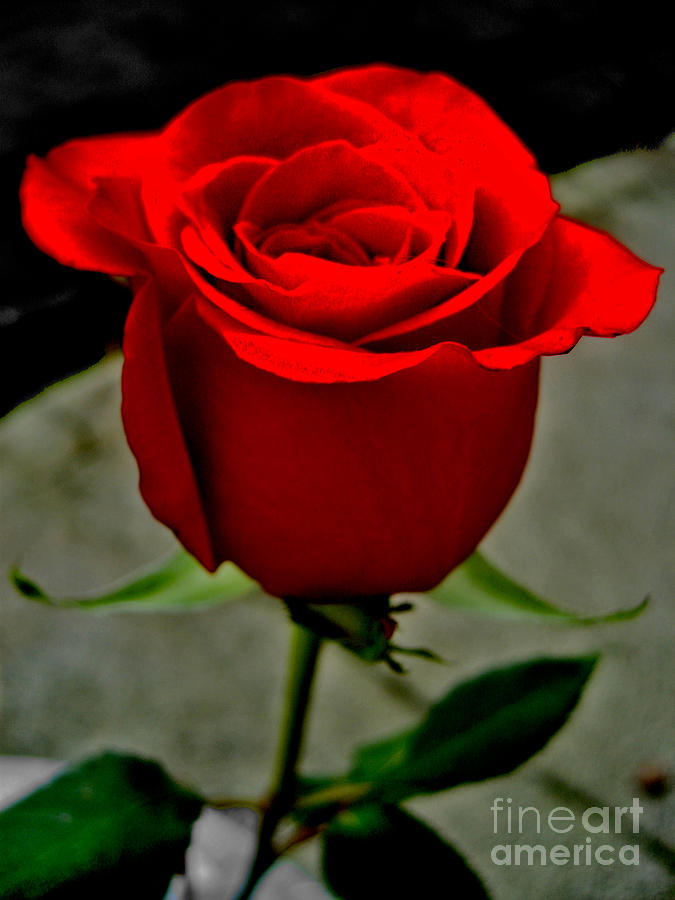 Red Dream Rose Photograph
