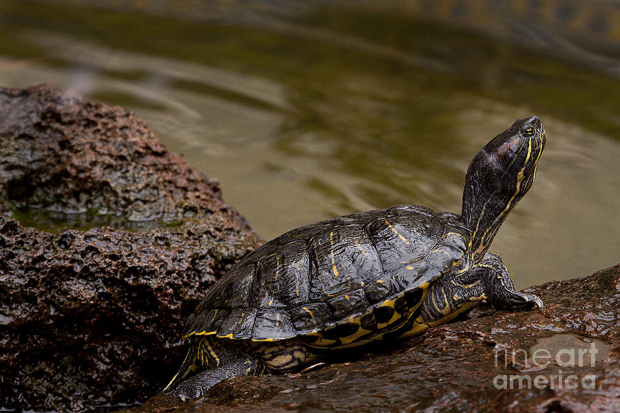 Turtle Photograph - Red-eared Slider Turtle #2358 by J L Woody Wooden