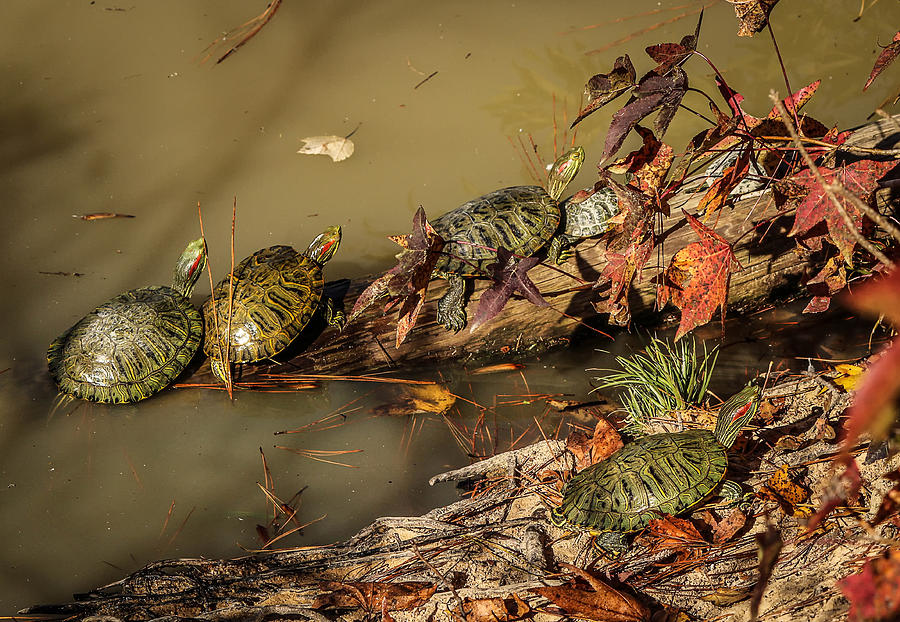 Red Eared Sliders Photograph