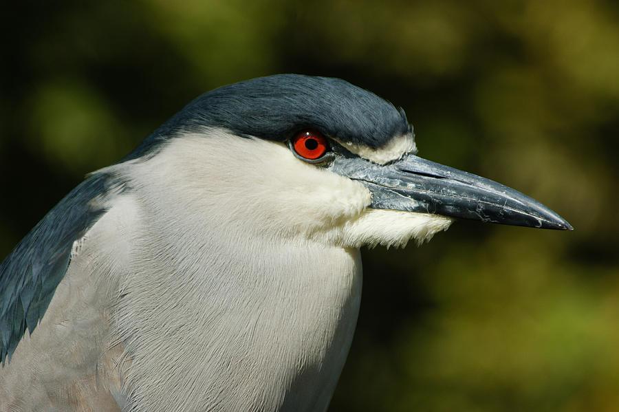 Red Eye - Black-crowned Night Heron Portrait Photograph