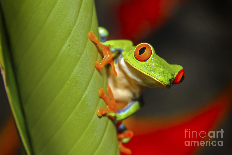 Wildlife Photograph - Red Eyed Leaf Frog by Bob Hislop