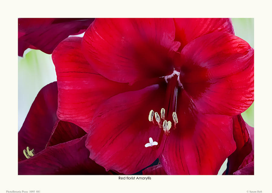 Red Flowers Photograph - Red Florist Amaryllis by Saxon Holt