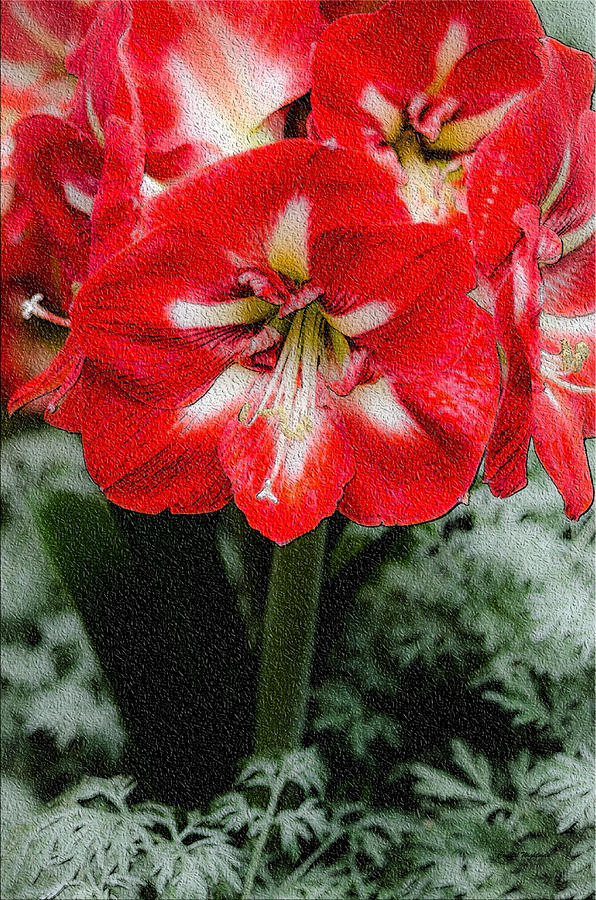 Red Flower With Starburst Photograph  - Red Flower With Starburst Fine Art Print