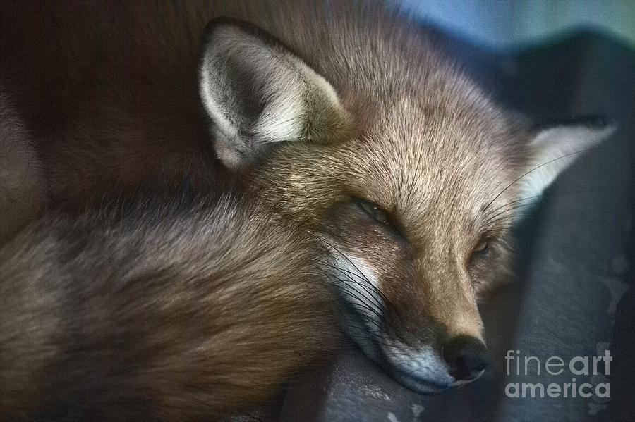 Red Fox 2 Photograph