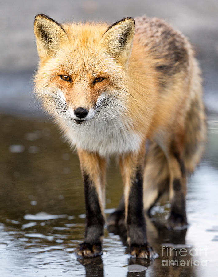 red fox face and - photo #46